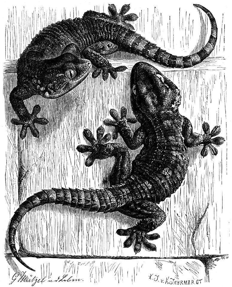 Стенной геккон