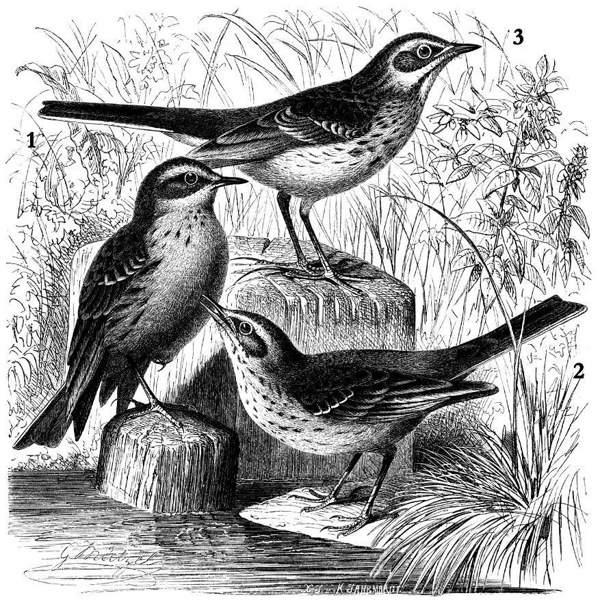 1 - Степной конек (Anthits novaeseelandiae) 2- Горный конек (Anthus spinoletto) 3- Полевой конек (Anthus campestris)