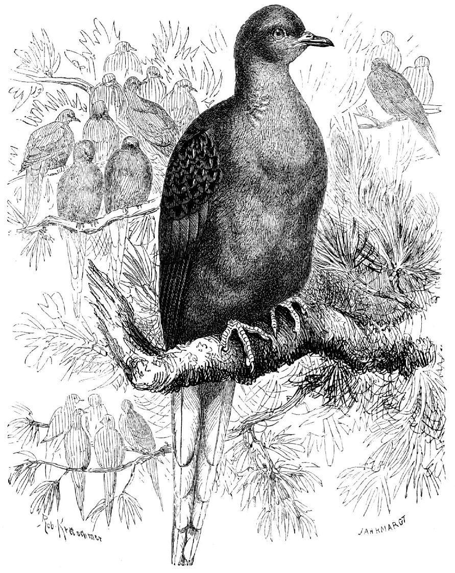 Странствующий голубь (Ееtopisles migratorius)