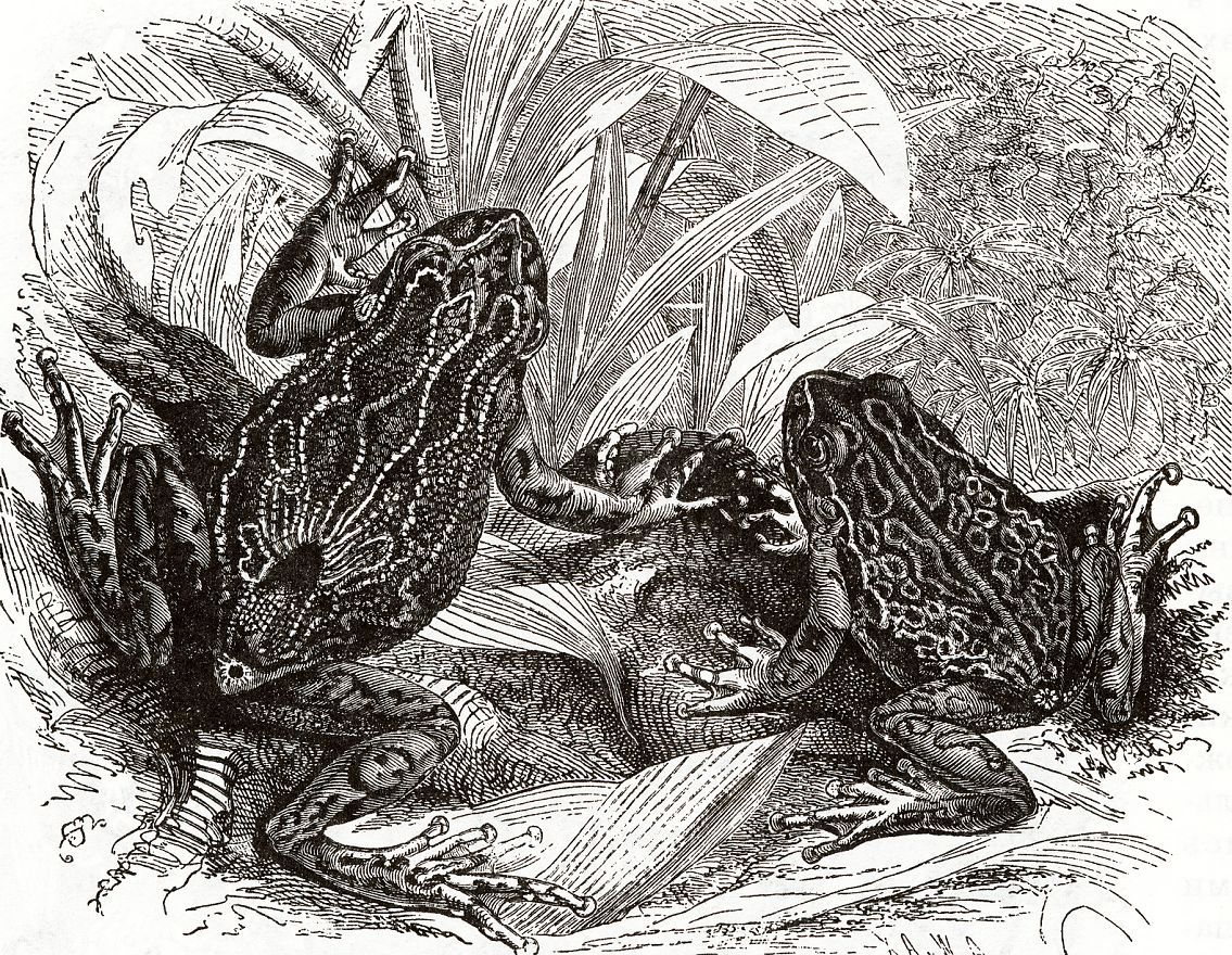 Сумчатая квакша (Gastrotheca marsupiata)