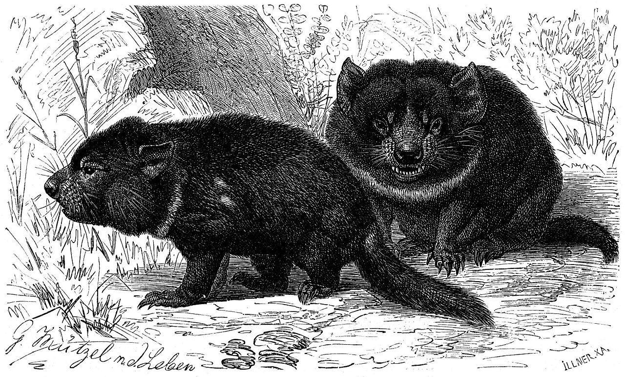 Сумчатый дьявол (Sarcophilus harrisi)