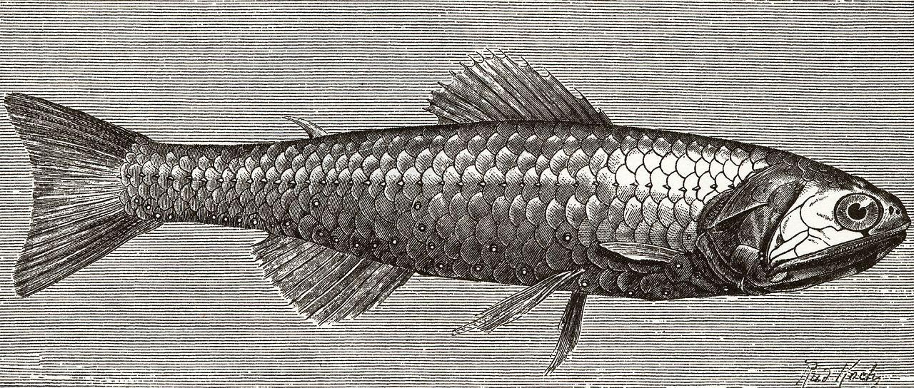 Светящийся анчоус (Scopelus engraulis)