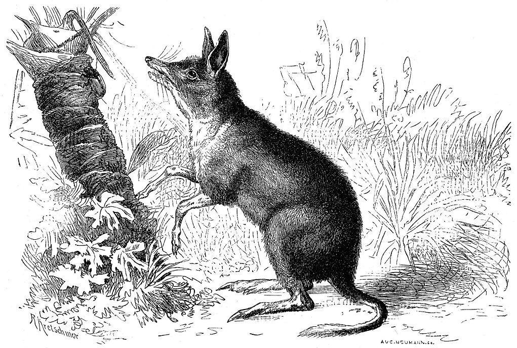 Свиноногий бандикут (Chaeropus ecaudatus)