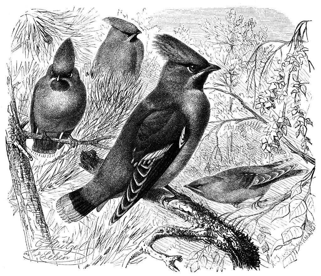 Свиристель (Bombycilla garrulus)