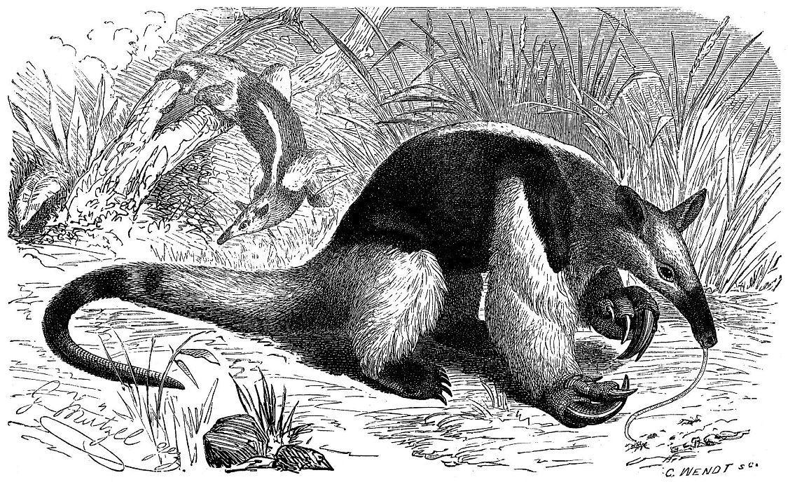 Тамандуа (Tamandua tetradactyla)