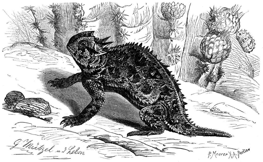 Техасская жабовидная ящерица (Phrynosoma covnutum)