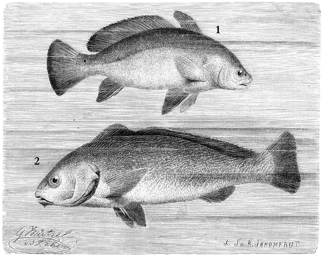 1 — Темный горбыль (Sciaena umbra) 2 — Светлый горбыль (Umbrina cirrosa)