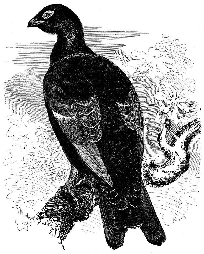 Тетерев-межняк (Tetrao urogallus х Lulurus tetrix)