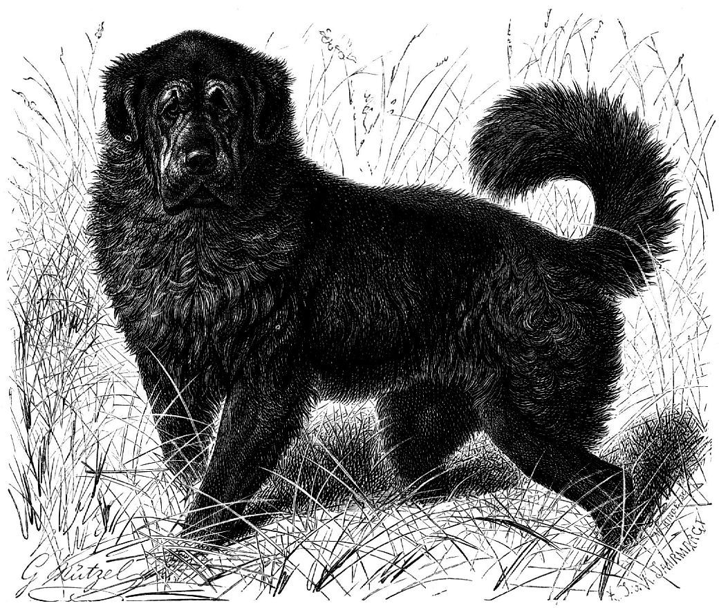 Тибетская собака