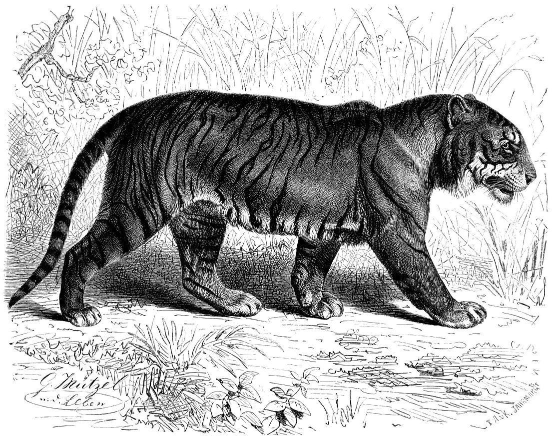 Тигр (Pantherа tigris)