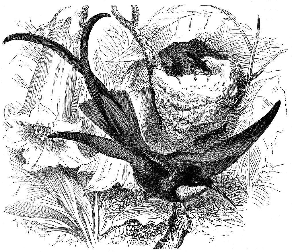 Топазовый колибри (Topaza pella)