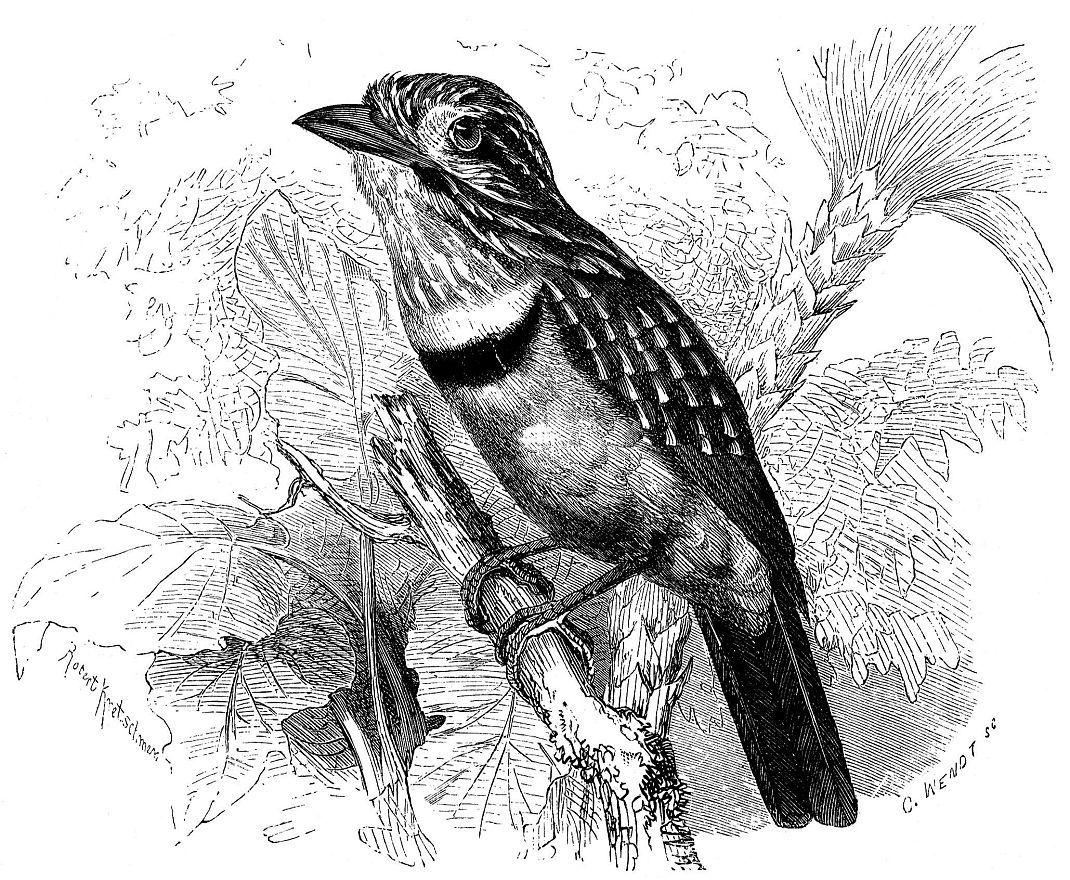 Траппист, или белогрудая малакоптила (Malacoptila fusca)