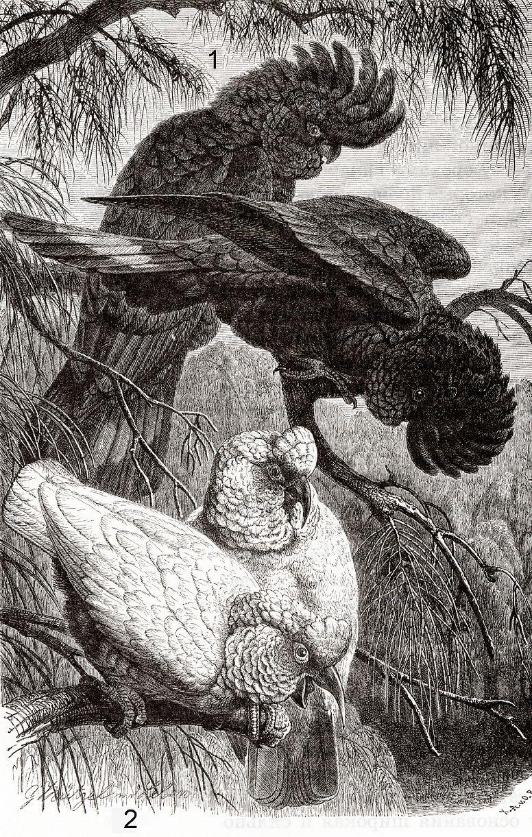 1 - Траурный какаду (Calyptorhyruhos fimereus) 2 — Носатый какаду (Cacatua tenuirostris)