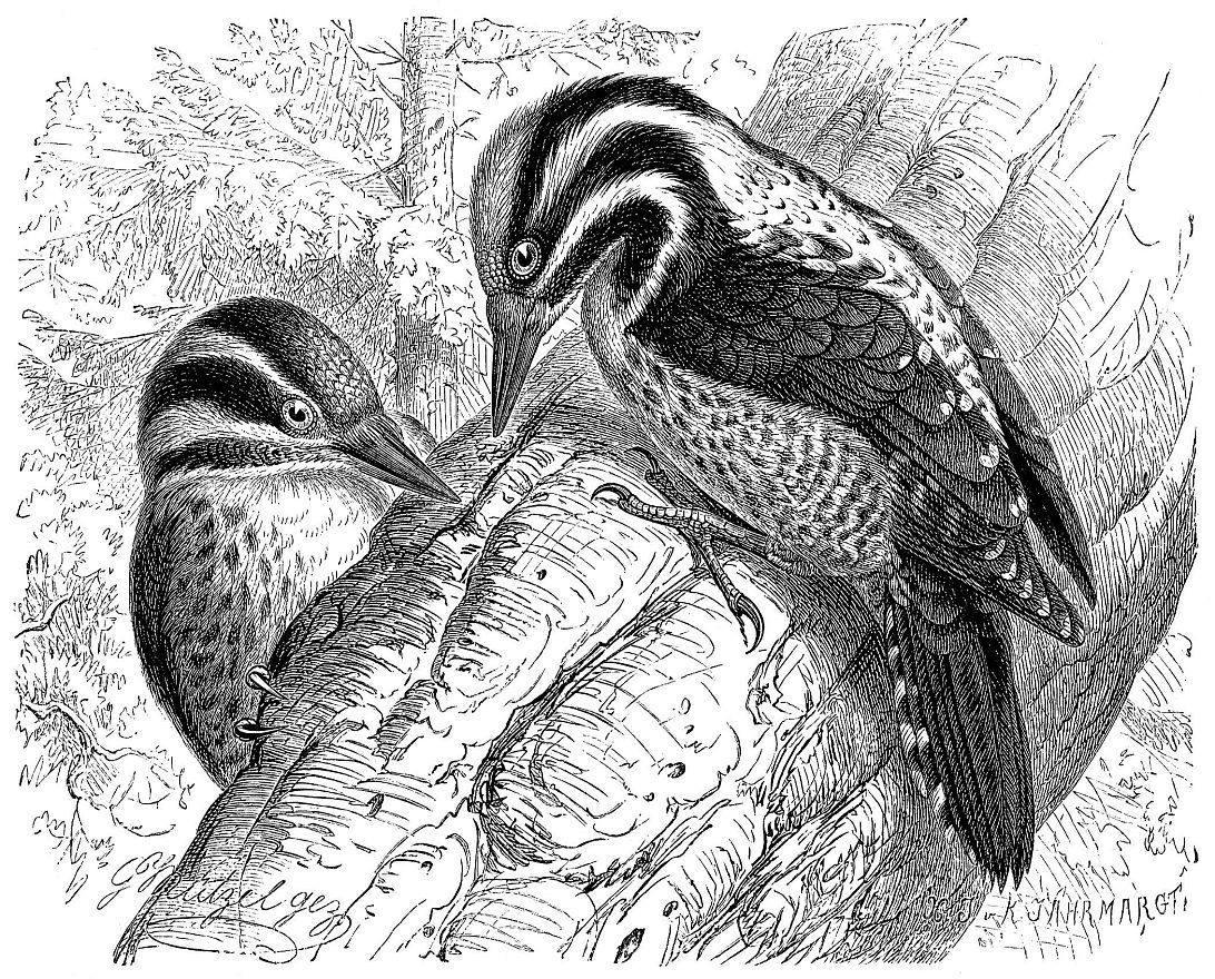 Трехпалый дятел (Picoides tridactyhts)