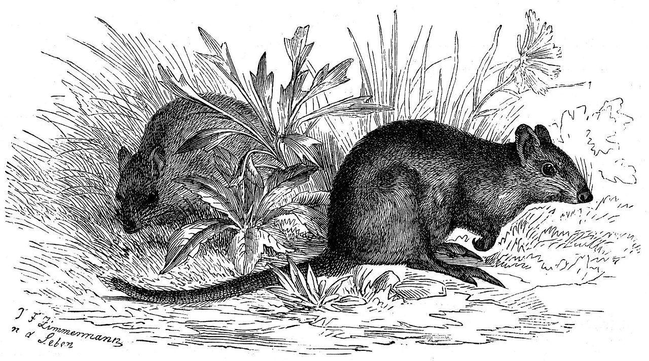 Трехпалый крысиный потору (Potorous tridactylus)
