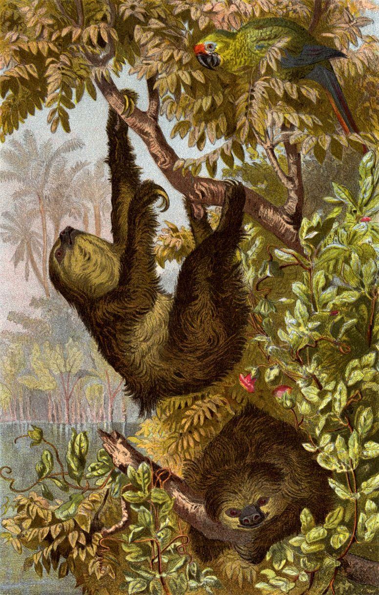 Трехпалый ленивец (Bradypus tridactylus)