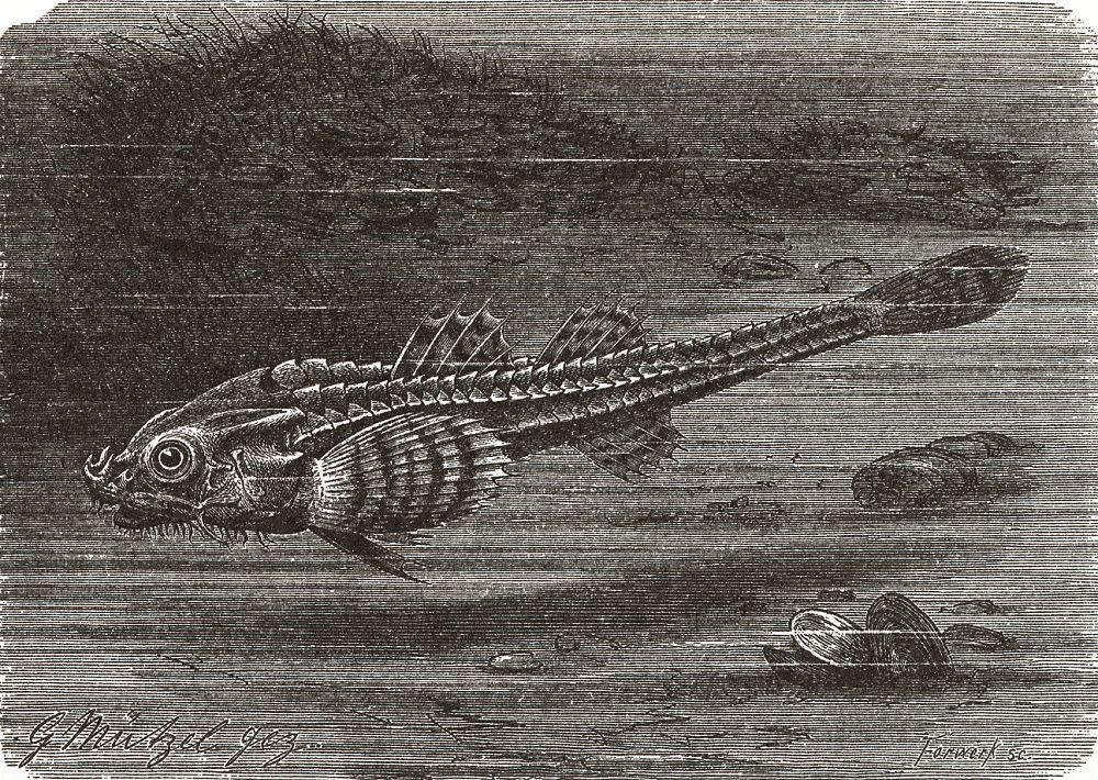 Тригла, или морской петух (Trigla hirundo)