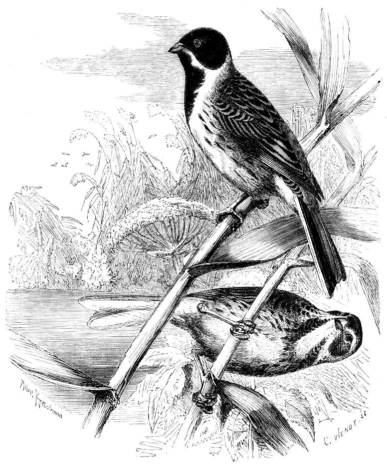 Тростниковая овсянка (Emberiza sclweniclus)