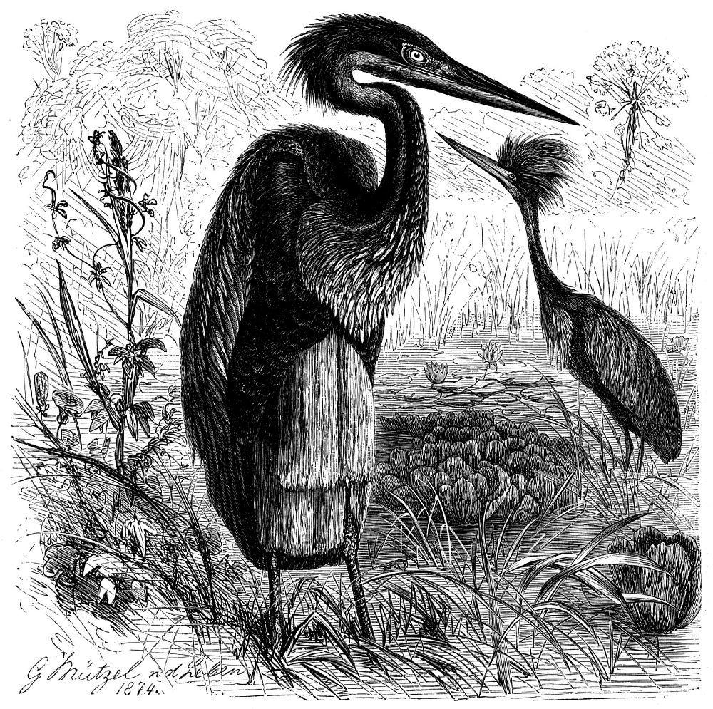 Цапля-голиаф (Ardea goliath)