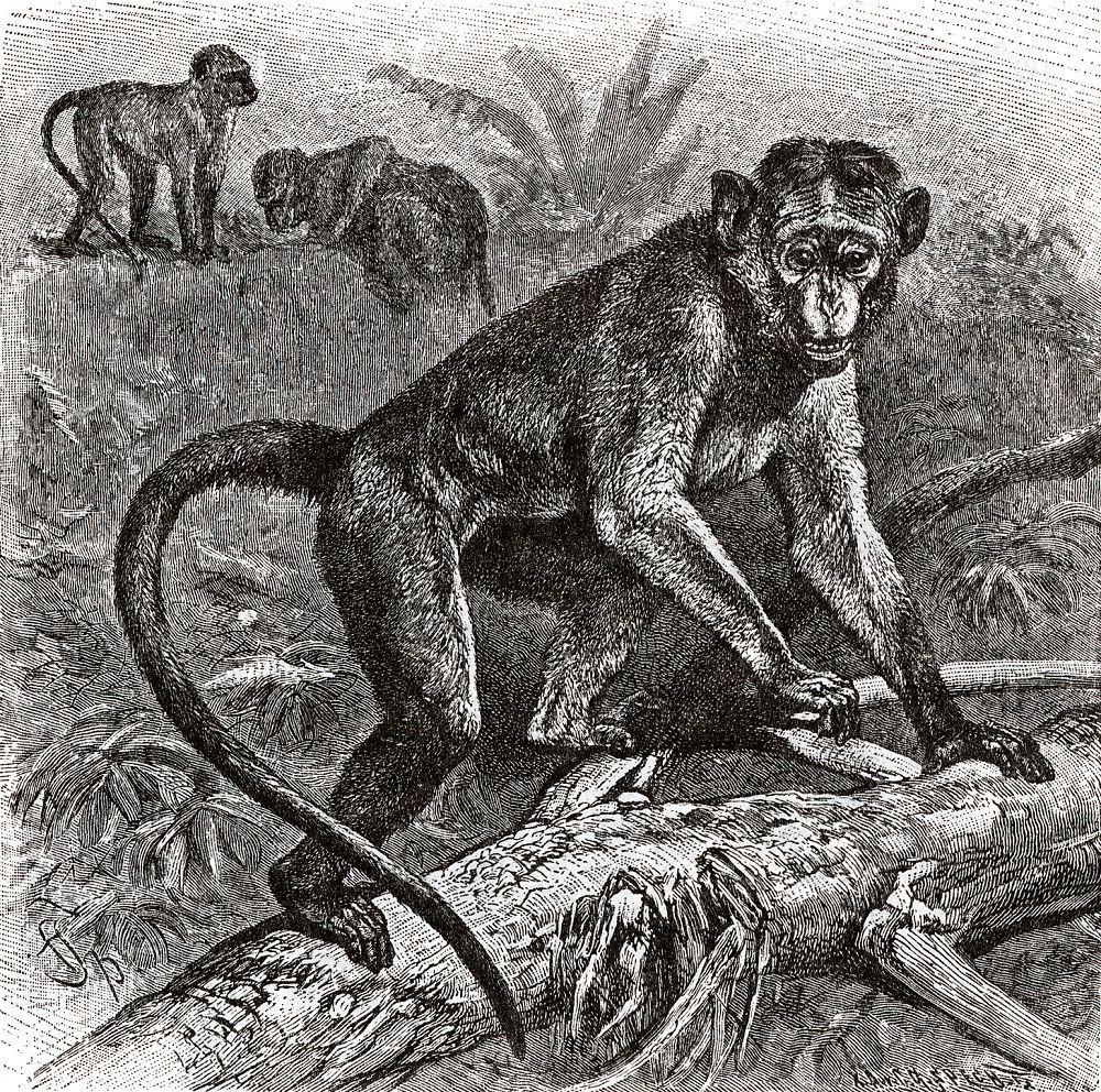 Цейлонский макак (Масаса sinica)