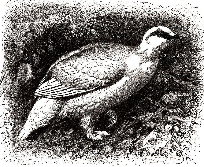 Тундряная куропатка (Lagopus mutus )