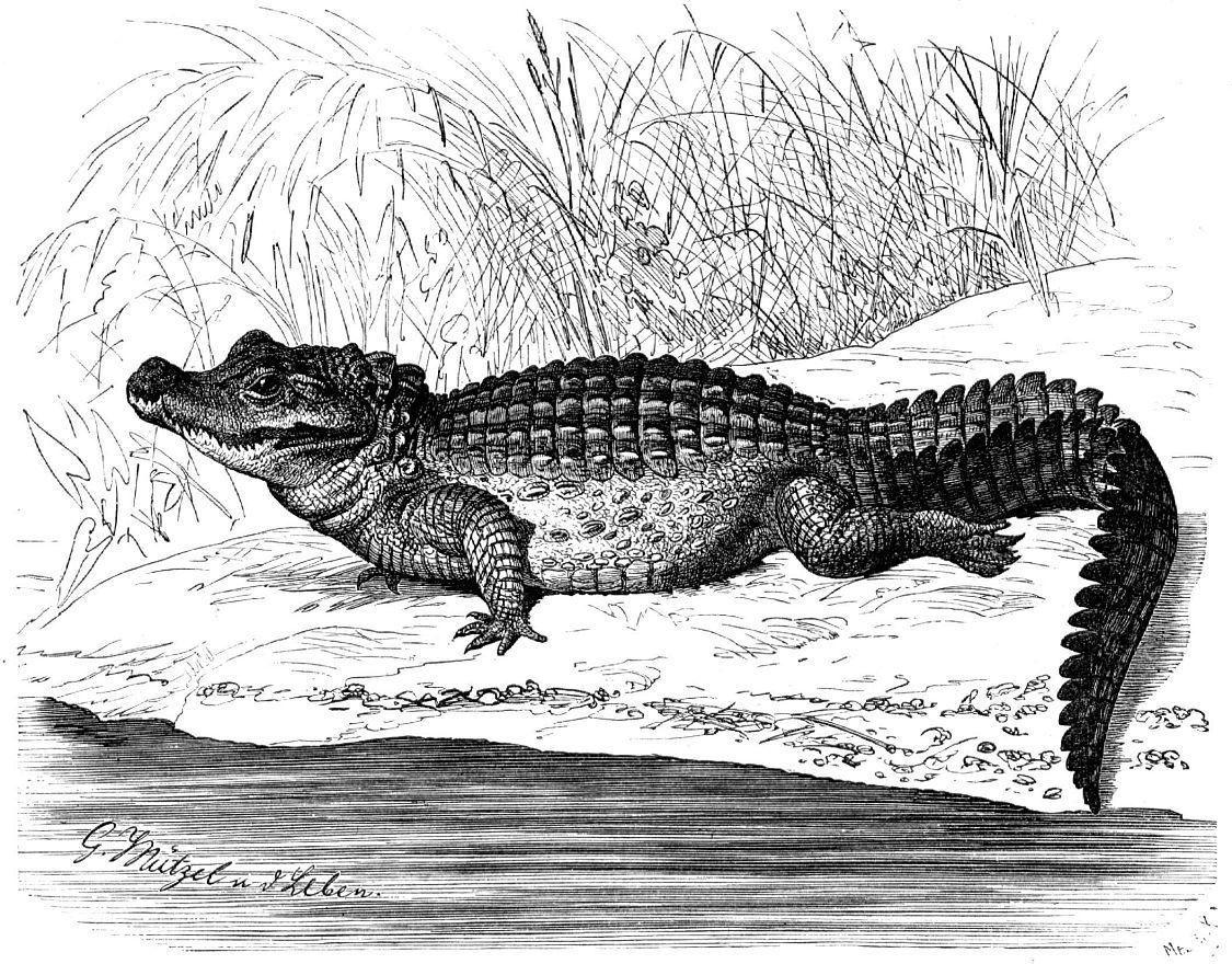 Тупорылый крокодил (Osteolaemus tetraspis)
