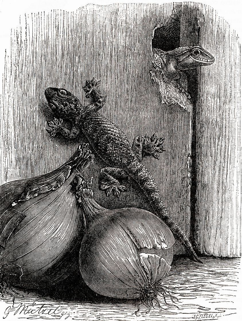 Турецкий полупалый геккон (Hernidactylus turcicus)