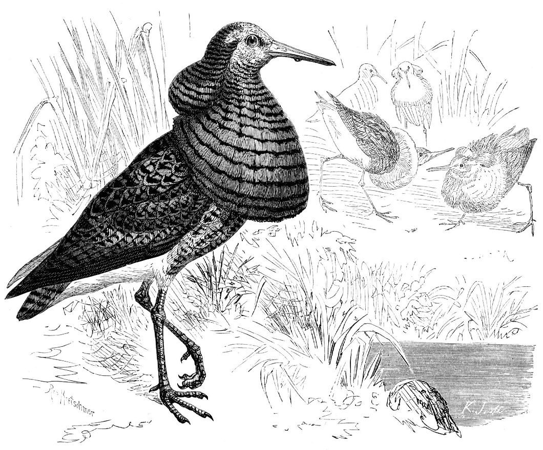Турухтан (Philomachus pitgnax)
