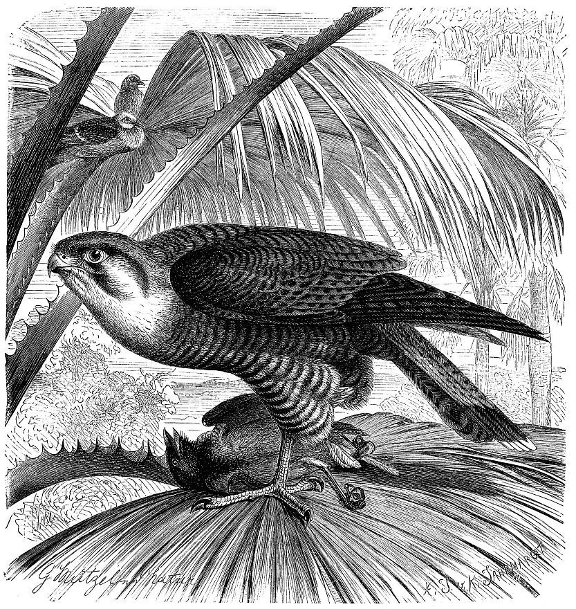 Турумти (Falco ehiquera)