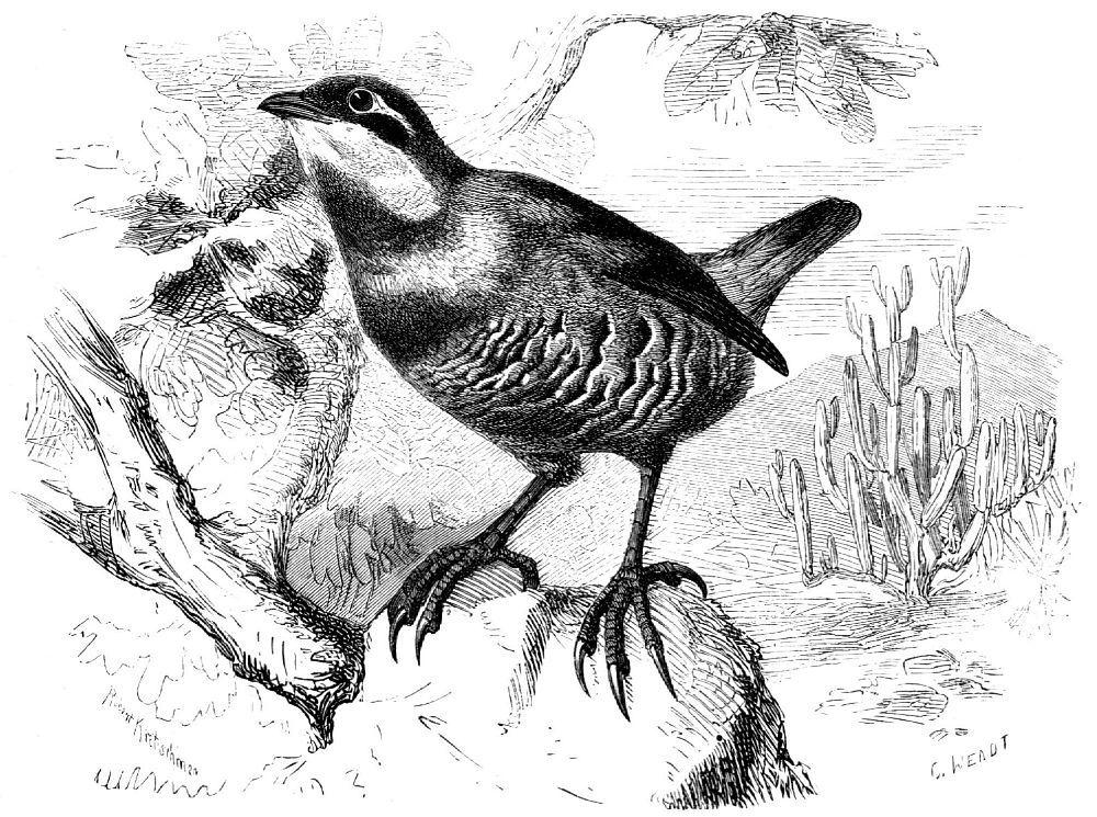 Тюрко (Pteroptochos megapodius)