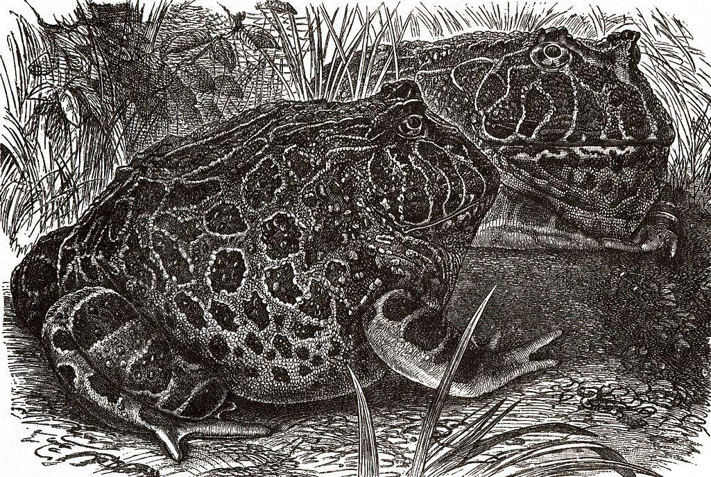 Украшенная итанния (Ceratophrys ornata)