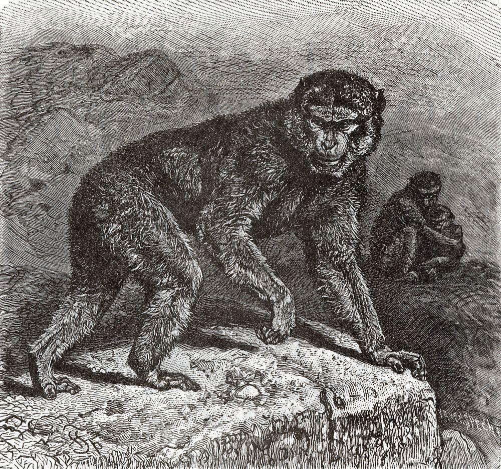Варварийский макак, ила магот (Масаса syvanus)