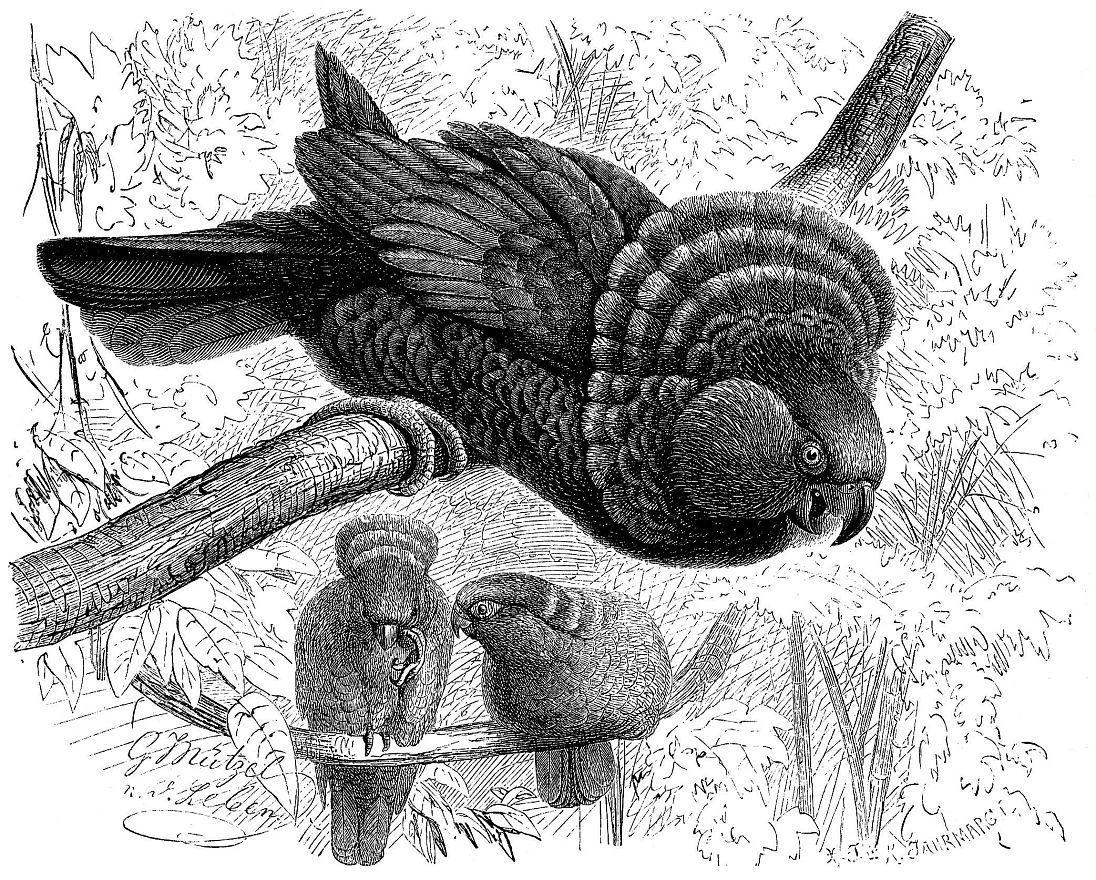 Веерный попугай (Deroptyus accipitrinu)