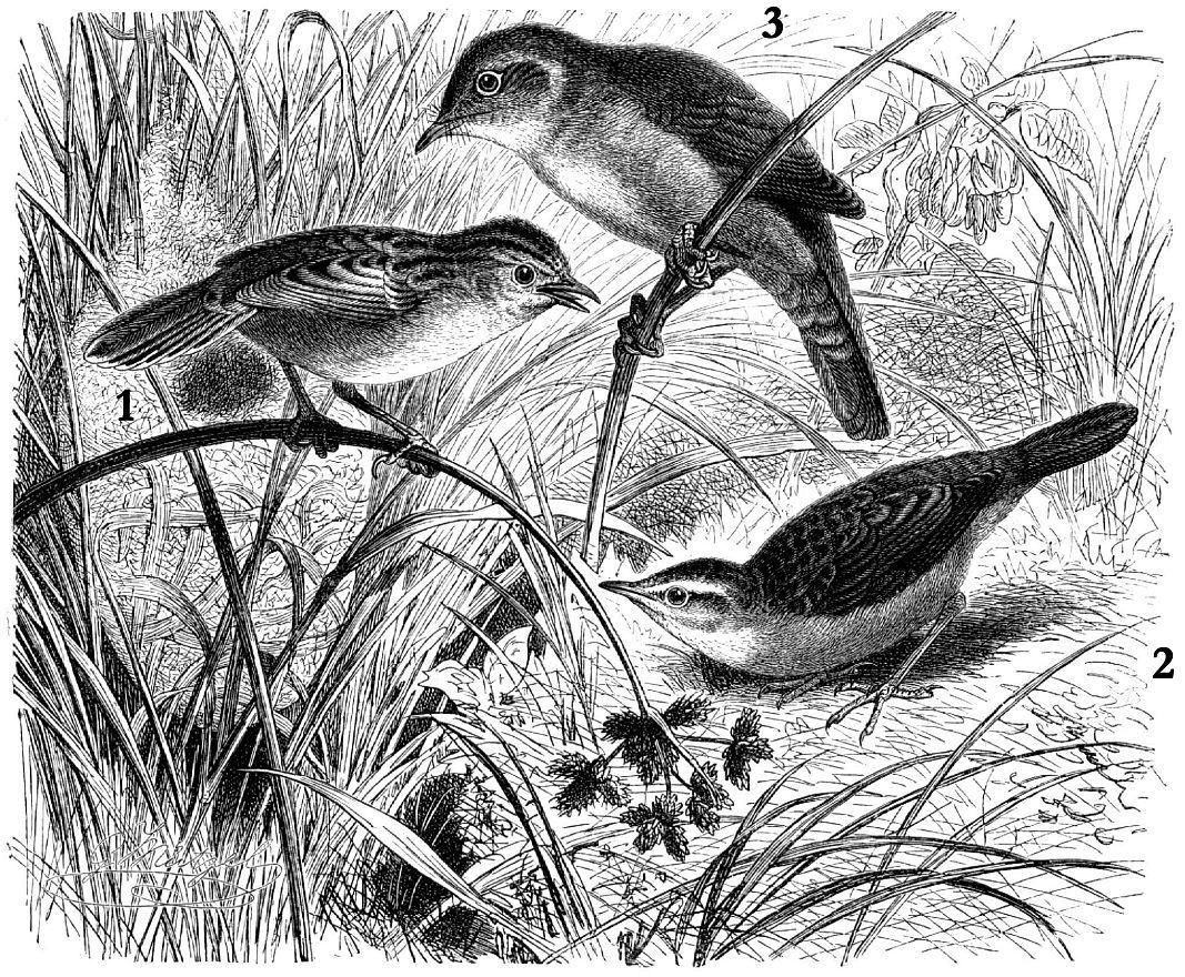 1 - Веерохвостая цистикола (Cisticola juncidis) 2 - Камышевка-барсучок (Acrocephalus schoenobaenus) 3 - Широкохвостка (Cetiia cetti)
