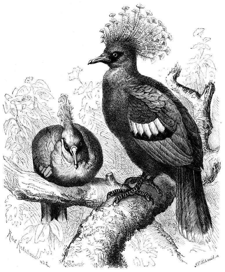 Веероносный голубь Виктории (Goura victoria)