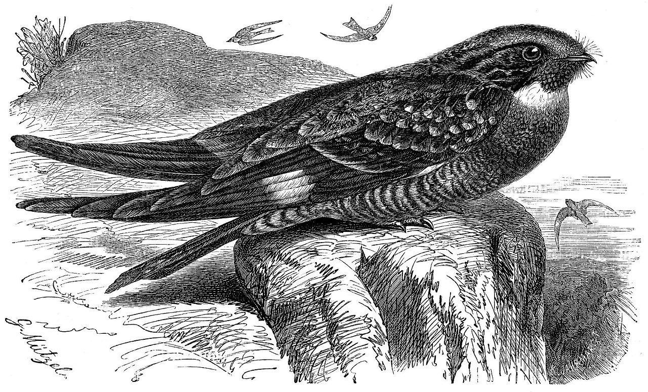 Виргинский сумеречный козодой (Chordeiles minor)