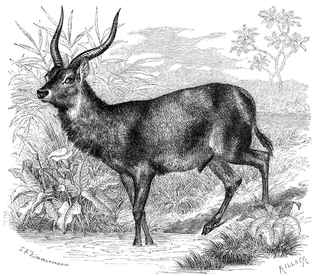 Водяной козел (Kohiis ellipsiptymnus)