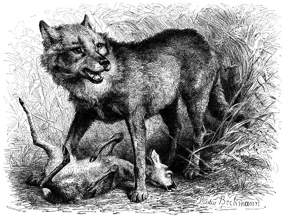http://dic.academic.ru/pictures/enc_biology/animals/volk.jpg