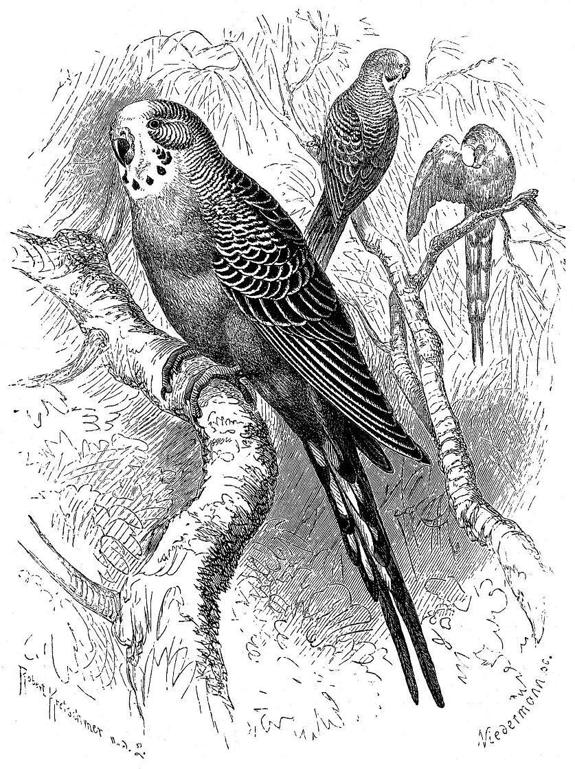 Волнистый попугайчик (Melopsittacus undulatus)