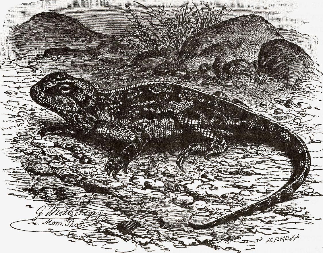Вооруженный акантозавр (Acanthosaura annate)