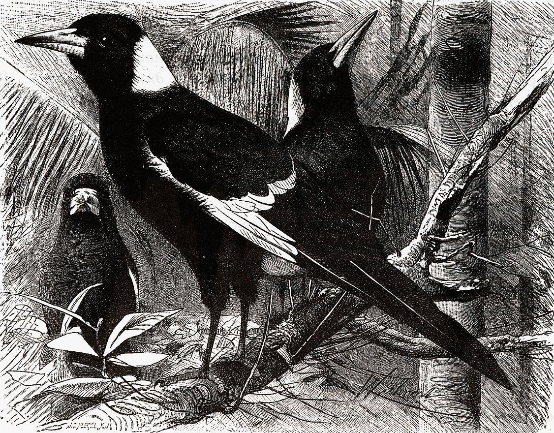 Ворона-свистун (Gymnorhina tibicen)