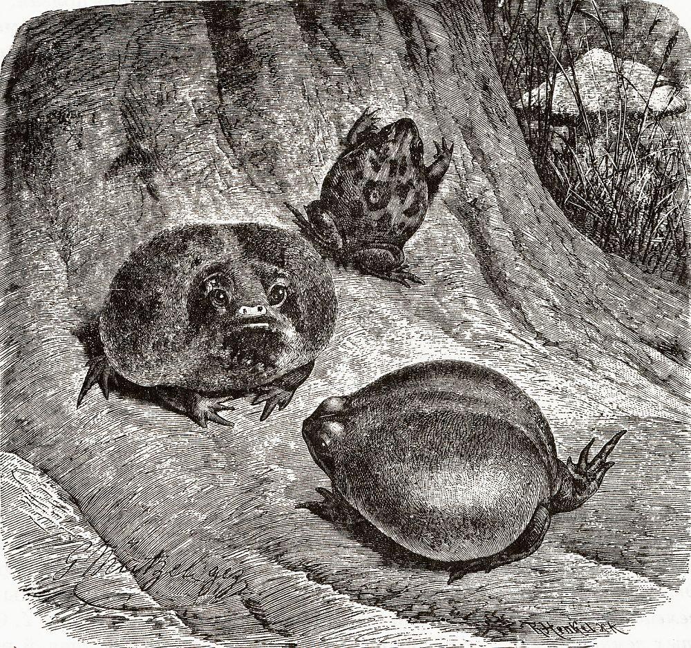 Восточноафриканский узкорот (Breviceps mossambicus)