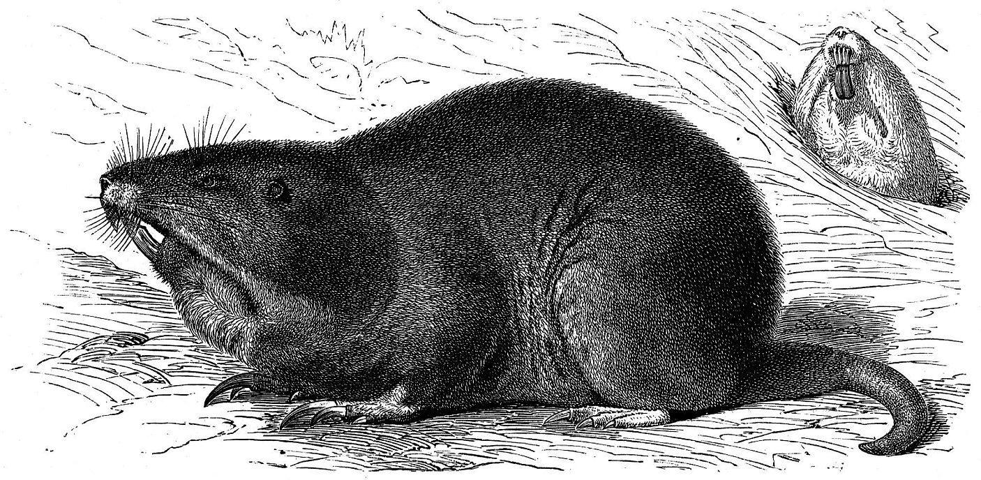 Восточный равнинный гофер (Geomus bursarius)
