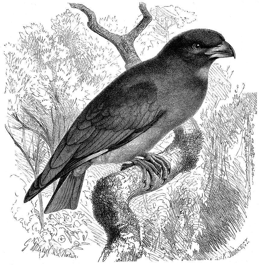 Восточный широкорот (Eutystomus orientalis)