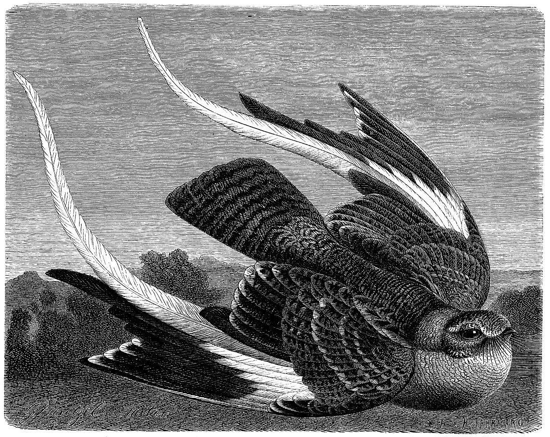 Вымпеловый козодой (Semiophonts vexiltarius)