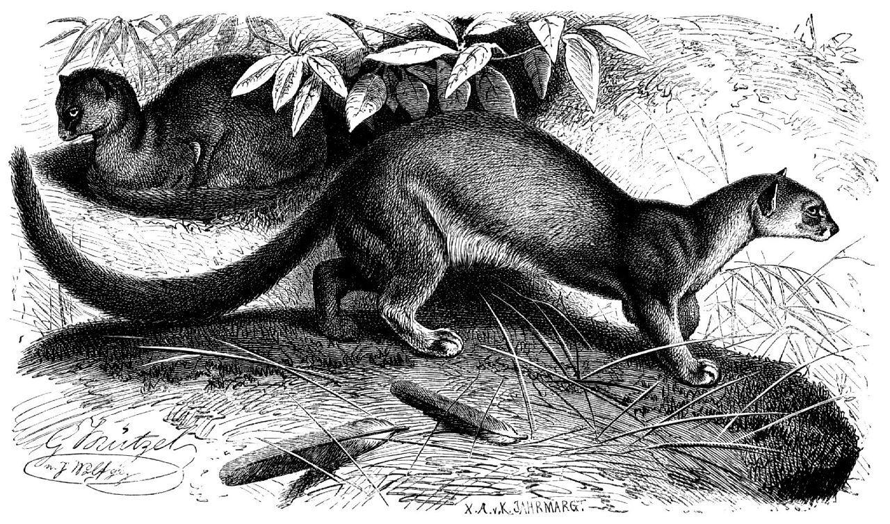 Ягуарунди (Herpailurus yagouarundi)