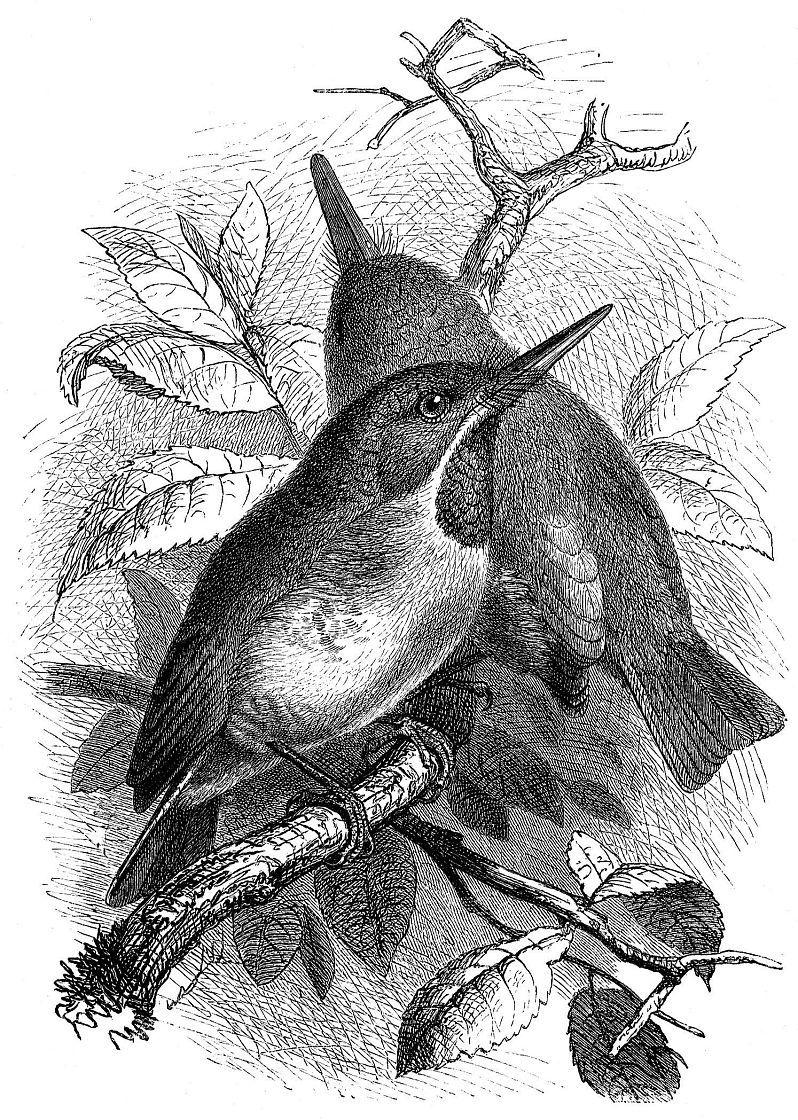Ямайский тоди (Todus todus)