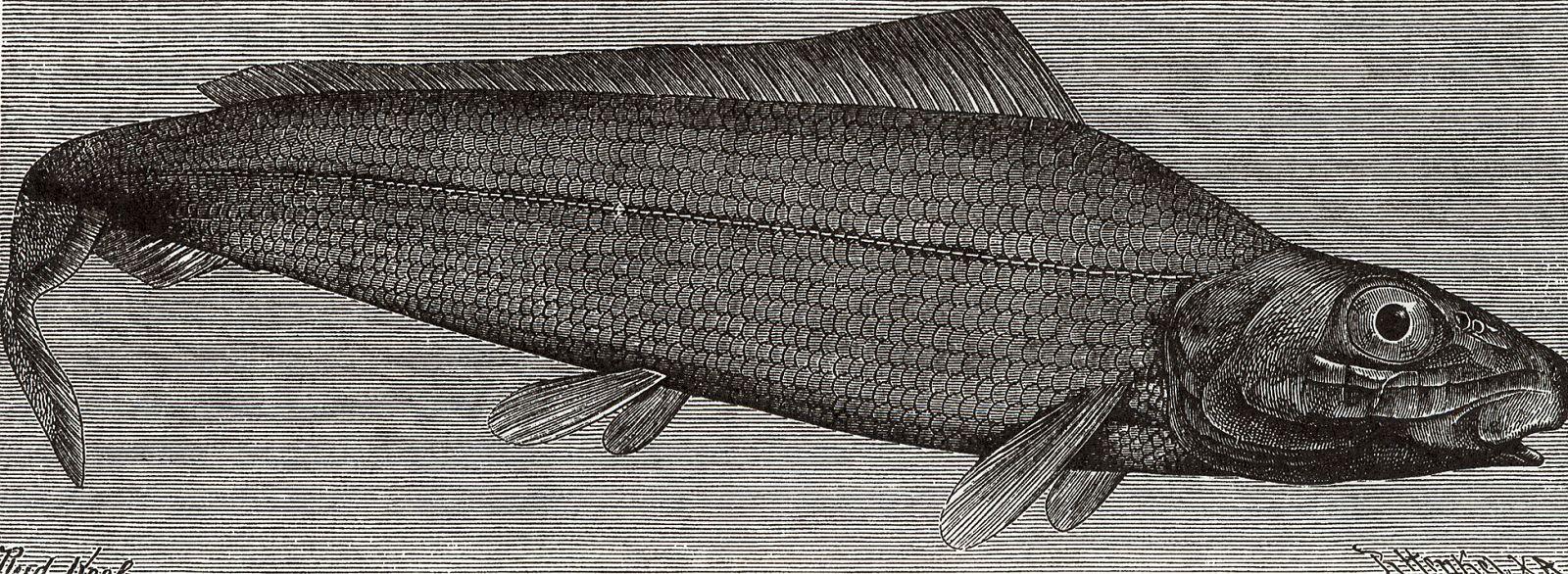 Японская селедка (Bathythrissa dorsalis)