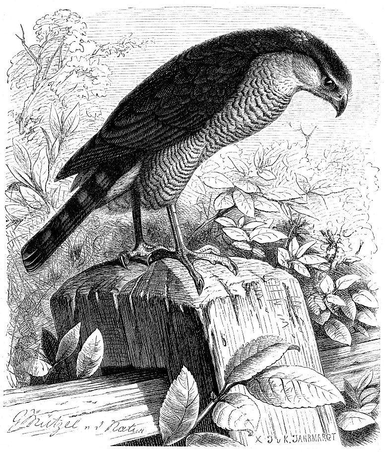 Ястреб-перепелятник (Aceipiter nisus)