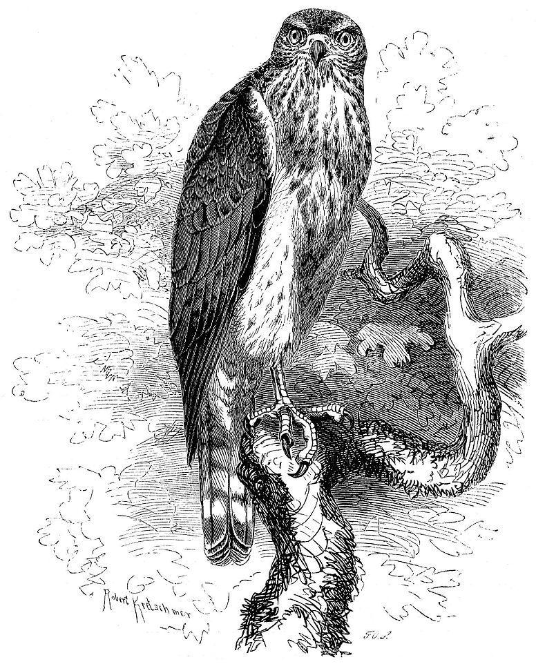 Ястреб-тетеревятник (Accipiter gentilis)